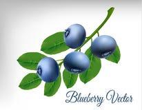 Blueberry vector Stock Photo