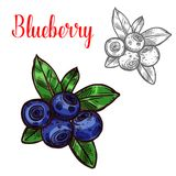 Blueberry vector sketch berry fruit icon. Blueberry berry sketch icon. Vector isolated symbol of fresh farm grown blueberries bunch with green leaf berry for royalty free illustration