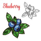 Blueberry vector sketch fruit berry icon. Blueberry berry color sketch icon. Vector botanical design of blueberries fruits bunch with leaf for juice or jam vector illustration