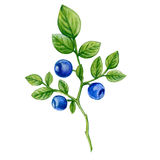 Blueberry watercolor illustration isolated on white background, Hand drawn painting, Design berry element, Can be used for menu Royalty Free Stock Image
