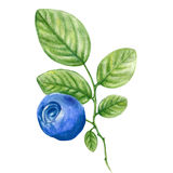 Blueberry watercolor illustration isolated on white background, Hand drawn painting, Design berry element, Can be used for menu. Banner, wedding cards Stock Photo