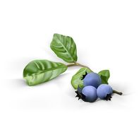 Blueberry, on white background  Royalty Free Stock Photography