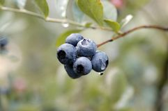 Blueberrys Photo stock