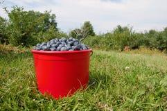 Blueberrys nell'erba Fotografie Stock Libere da Diritti