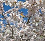 bluebird άνοιξη Στοκ Εικόνες