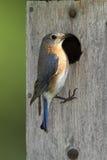 bluebird ανατολική θηλυκή φωλιά κιβωτίων Στοκ Φωτογραφίες