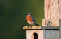 bluebird ανατολικός Στοκ Εικόνες