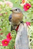 bluebird ανατολικός Στοκ Εικόνα