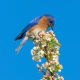 bluebird ανατολικός Στοκ εικόνες με δικαίωμα ελεύθερης χρήσης