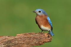 bluebird ανατολικό αρσενικό Στοκ εικόνα με δικαίωμα ελεύθερης χρήσης