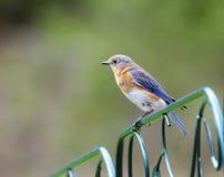 bluebird ανατολικό θηλυκό στοκ φωτογραφίες με δικαίωμα ελεύθερης χρήσης
