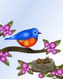 Bluebird και μωρά στη φωλιά Στοκ Φωτογραφίες