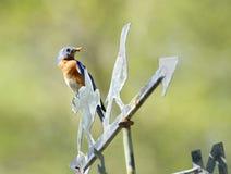Bluebird με τα τρόφιμα για την οικογένεια στοκ εικόνες