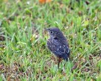 bluebird νεοσσός Στοκ Εικόνες