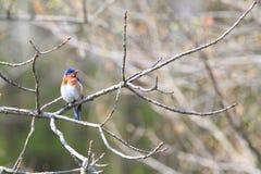 Bluebird που σκαρφαλώνει ανατολικό στον κλάδο Στοκ εικόνα με δικαίωμα ελεύθερης χρήσης