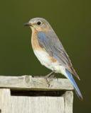bluebird το ανατολικό θηλυκό onta φωλιών κιβωτίων εσκαρφάλωσε Στοκ Εικόνα