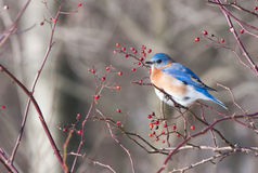 Bluebird Fotos de Stock Royalty Free