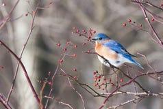 bluebird Obraz Stock