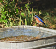Bluebird Royalty Free Stock Image