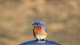 Bluebird Royalty Free Stock Photos