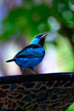 bluebird Image stock