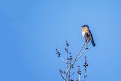 bluebird fotografia royalty free