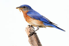 Bluebird aislado en una perca con un gusano Fotos de archivo libres de regalías