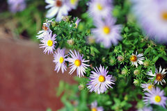 Bluebird aster flower Royalty Free Stock Images