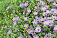 Bluebird aster flower Stock Photos
