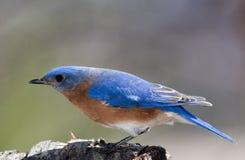 Bluebird attento Immagine Stock