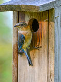 Bluebird and box(Sialia sialis) Stock Images