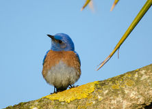 Bluebird on Branch. A bluebird perches on a dracena branch in the Presidio of San Francisco, cocking its head to the side royalty free stock image