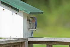 Bluebird bringing bugs to her babies. Female Bluebird feeding insects to her babies Royalty Free Stock Photography