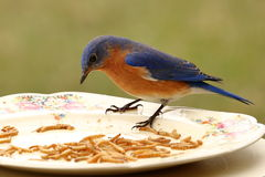 Bluebird bufet Obraz Stock
