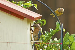 Bluebird checks her nest while Goldfitch looks on. Royalty Free Stock Image