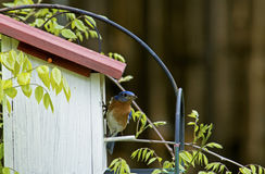 A Bluebird checks out her eggs in a nesting box. Stock Photo