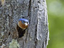 Blue bird Cleaning Waste from Nest. Male Eastern Bluebird (Sialia sialis) leaving the nest in  a dead tree with a fecal sac which is the waste of Royalty Free Stock Images