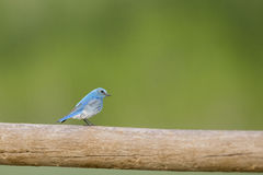 Bluebird on country fence Royalty Free Stock Image