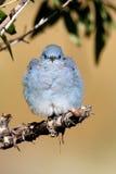Bluebird da montanha Foto de Stock