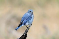 Bluebird da montanha Fotografia de Stock Royalty Free