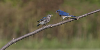 Bluebird Dad Feeding Baby Stock Image