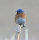 Bluebird del este en Cornstalk Fotografía de archivo