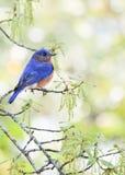 Bluebird del este masculino Fotografía de archivo