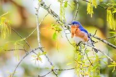 Bluebird del este masculino Imágenes de archivo libres de regalías
