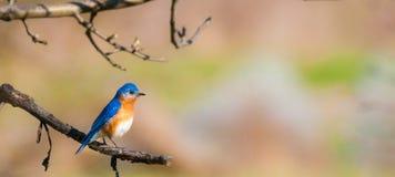 Bluebird del este masculino Fotos de archivo libres de regalías