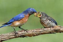 Bluebird del este masculino con el bebé Fotografía de archivo libre de regalías