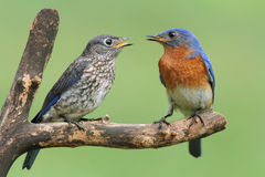 Bluebird del este masculino con el bebé Imagen de archivo libre de regalías