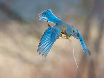 Bluebird delivers nesting material Stock Photos