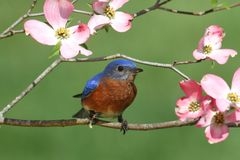 Bluebird with Dogwood flowers Royalty Free Stock Photos