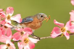 Bluebird with Dogwood flowers Royalty Free Stock Photos